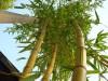 `Zauberbambus` aus dem hinteren Teil des Gartens